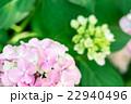 【神奈川県】あじさい 22940496