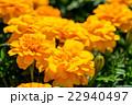 花 植物 マリーゴールドの写真 22940497