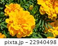 【神奈川県】マリーゴールド 22940498