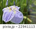 花菖蒲 菖蒲 花の写真 22941113