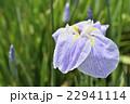 花菖蒲 菖蒲 花の写真 22941114