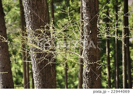 早春のカラマツの芽吹き 22944069