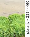田んぼ 稲 稲作の写真 22944460