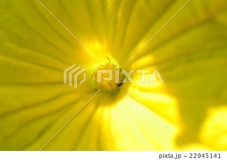 きゅうりの花に巣くう虫、アザミウマ 22945141