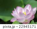 ハス 花 植物の写真 22945171