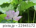 ハス 花 植物の写真 22945172
