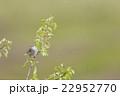高原のウグイス 22952770