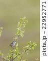 高原のウグイス 22952771