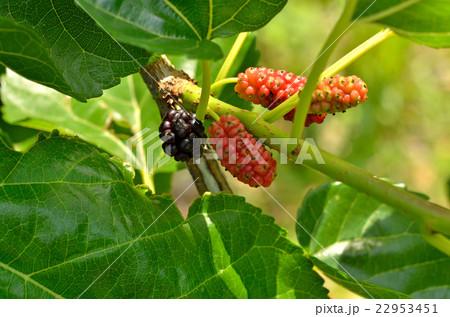 樹木:クワ クワ科の写真素材 [2...