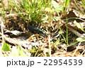 エゾマイマイカブリ マイマイカブリ北海道亜種 マイマイカブリの写真 22954539