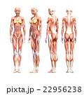 女性 解剖 筋肉 3DCG イラスト素材 22956238