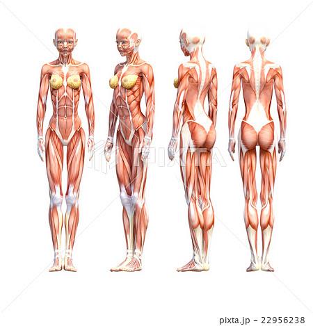 女性 解剖 筋肉 3dcg イラスト素材のイラスト素材 22956238 Pixta
