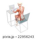 筋肉 解剖 女性のイラスト 22956243