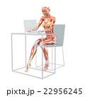 筋肉 解剖 女性のイラスト 22956245