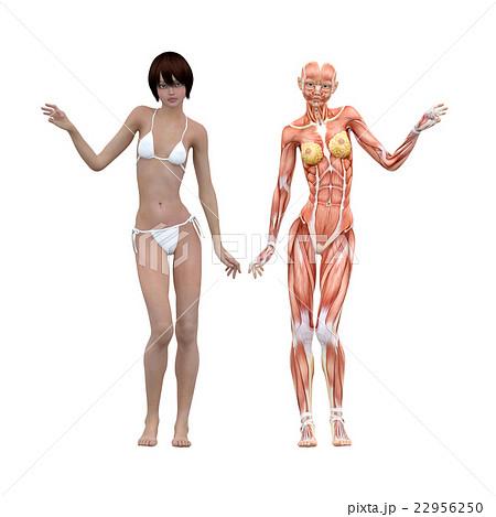 女性 解剖 筋肉 3dcg イラスト素材のイラスト素材 22956250 Pixta
