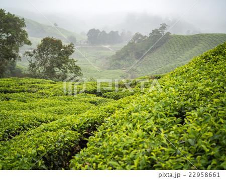Boh Tea plantation in Cameron highlands 22958661