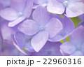 アジサイ (macro) 22960316