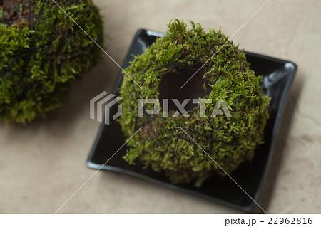 苔玉, 自然の緑 22962816