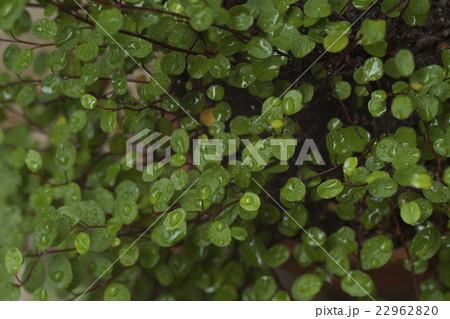 緑のワイヤープラント, ガーデニング 22962820