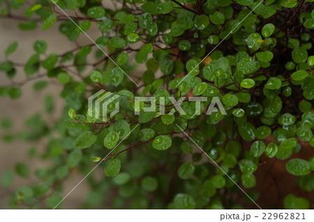 緑のワイヤープラント, ガーデニング 22962821