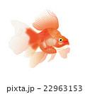金魚4 22963153