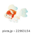 金魚5 22963154