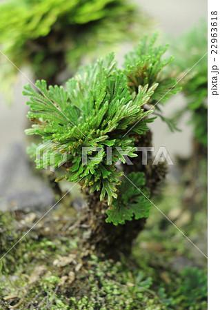 盆栽(イワヒバ) 22963618