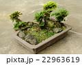 盆栽 岩松 岩檜葉の写真 22963619