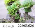 盆栽(イワヒバ) 22963620