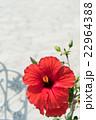 赤いハイビスカス 22964388
