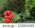 赤いハイビスカス 22964389