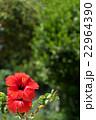 赤いハイビスカス 22964390