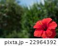 赤いハイビスカス 22964392