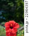 赤いハイビスカス 22964397