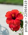 赤いハイビスカス 22964419