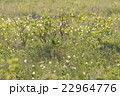 【北海道】霧多布湿原のワタスゲ 22964776