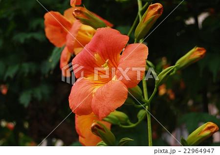 ノウゼンカズラの花 22964947