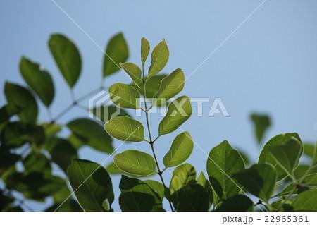 シマトネリコの葉脈 22965361