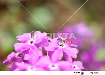 花の上で水を飲むアリ 22970883