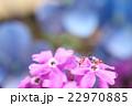 花の上で水を飲むアリ(アジサイバック・2匹) 22970885