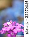 花の上で水を飲むアリ(アジサイバック・たて) 22970886
