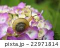 紫陽花とカタツムリ 22971814