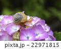 紫陽花とカタツムリ 22971815