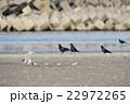 珍しいシロハヤブサの狩り 22972265