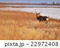 冬の野付半島のエゾシカ 22972408