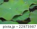 スイレンの葉に水滴 22973987