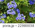 紫陽花 ユキノシタ科 七変化の写真 22980038