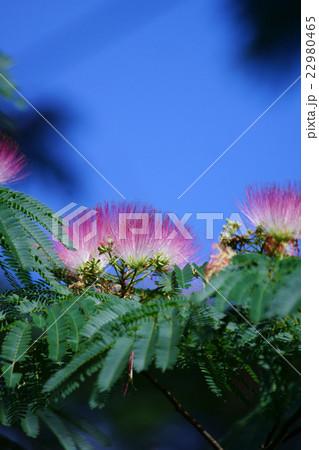 合歓木ネムノキ 花言葉は「胸のときめき」 22980465