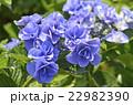 紫陽花 ユキノシタ科 七変化の写真 22982390