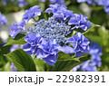 紫陽花 ユキノシタ科 七変化の写真 22982391